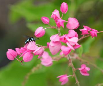 Neon Cuckoo bee on Antigonon vine  - 3707