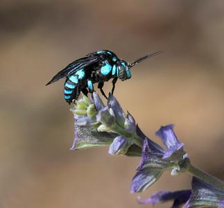 Neon Cuckoo bee -2622