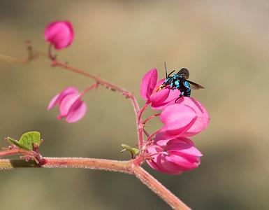 Neon Cuckoo bee - 0474