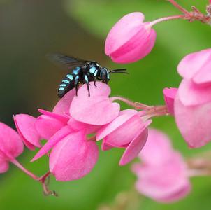 Neon Cuckoo bee - 3707_crop