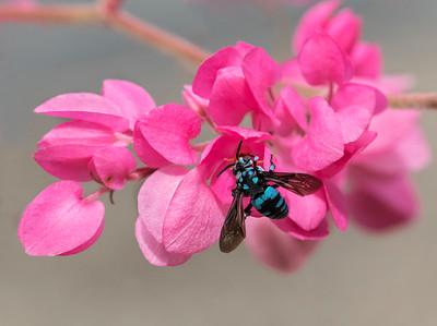Neon Cuckoo bee - 0342