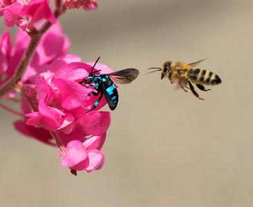 Neon Cuckoo bee & Honey bee - 9972