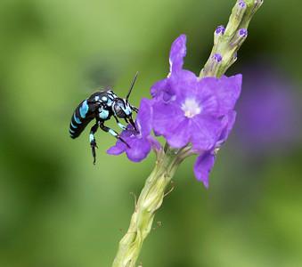 Neon Cuckoo bee - 6872