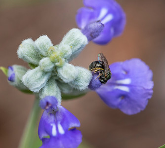 Native solitary bee - 8944