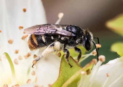 Lipotriches australica, female_5736