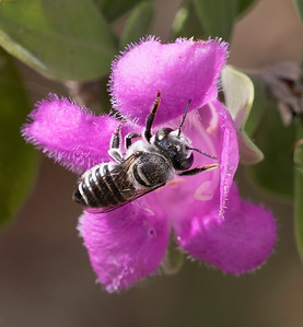 Leafcutter bee - 8427