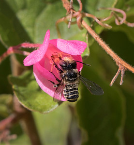 Leafcutter bee,male - 0094