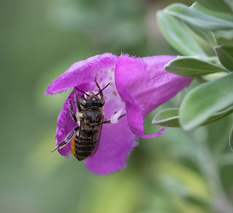 Leafcutter bee,female - 5196