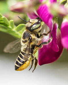 Leafcutter bee_1562
