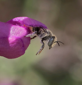 Leafcutter bee -7517ab