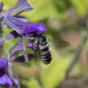 Leafcutter bee,female - 7526