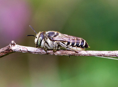 Leafcutter bee, female_4911