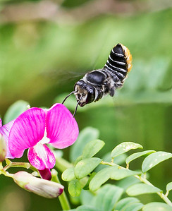 Leafcutter bee_4930_2