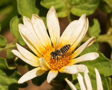 Leafcutter bee_6111