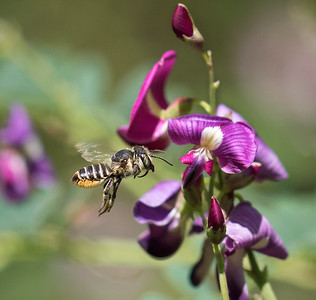 Leafcutter bee - 6829