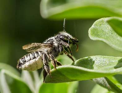 Leafcutter bee_6376