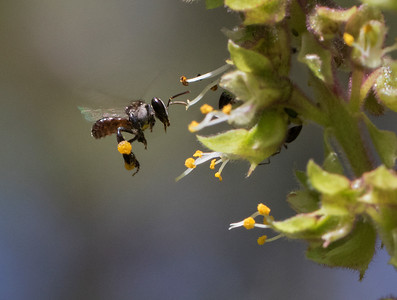 Stingless bee_7967