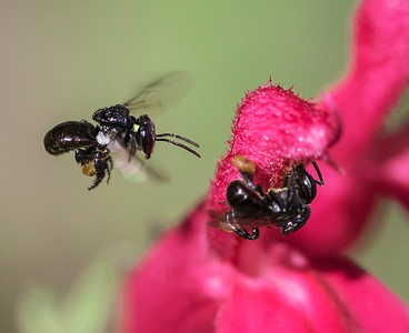 Stingless  bee_0950