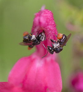 Stingless bee_020