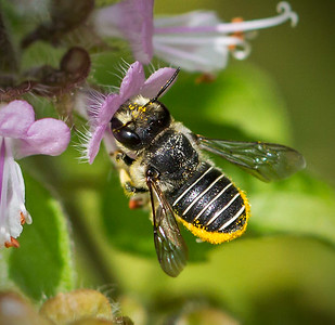 African Carder bee, female_6861