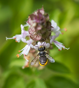 African Carder bee_6873