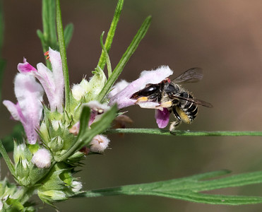 African Carder bee,female - 0858