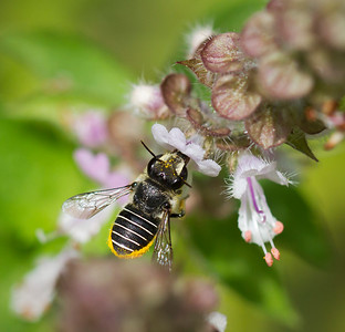 African Carder bee_6866