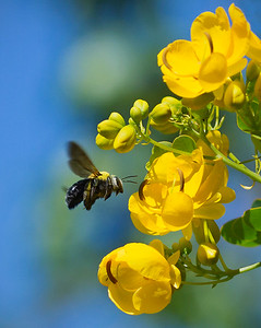 Peacock Carpenter bee,female_1750