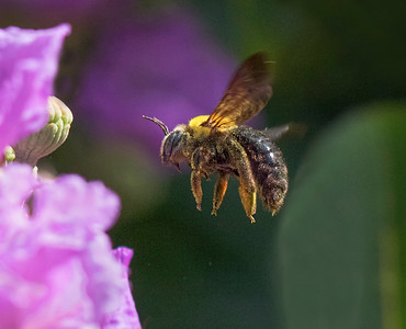Great Carpenter bee - 2853a