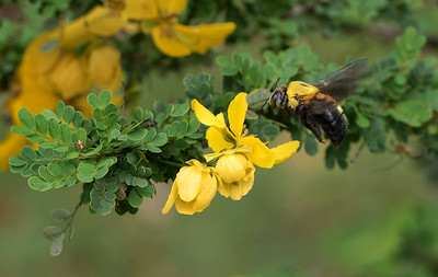 Great Carpenter bee,female - 1500
