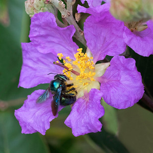 Peacock Carpenter  bee,female -1303