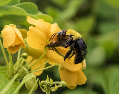 Great Carpenter bee_0557