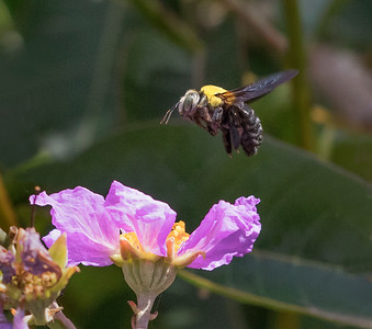 Great Carpenter bee - 2857