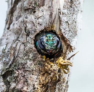 Peacock Carpenter bee - female_4719