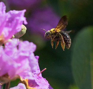 Great Carpenter bee - 2853