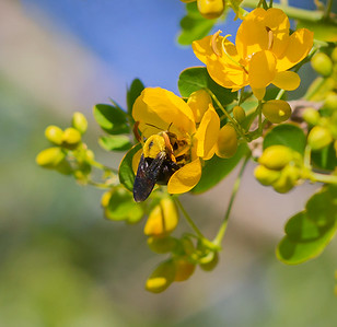Great Carpenter bee - 1675