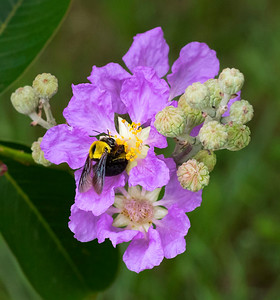 Great Carpenter bee,female - 1428
