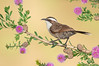 White-browed Babbler – Pomatostomus superciliosis (Benalla, Victoria)
