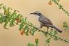 White-browed Babbler - Pomatostomus superciliosus (Warby Ranges, Vic)