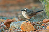 White-browed Babbler - Pomatostomus superciliosus (Alice Springs, NT)