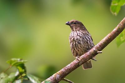 Tooth-billed Bowerbird - Scenopoeetes dentirostris (Mt Lewis, Qld)