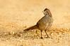 Rufous Bristlebird - Dasyornis broadbenti (Pt Addis, Vic)