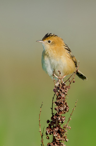 Golden-headed Cisticola - Cisticola exilis (Western Treatment Plant, Victoria)