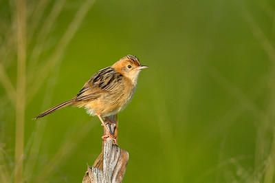 Golden-headed Cisticola - Cisticola exilis (Catanna Wetlands, Cairns, Qld)