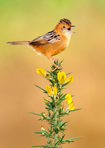 Golden-headed Cisticola (Cisticola exilis)