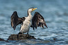 Little Pied Cormorant - Microcarba melanoleucos (Western Treatment Plant, Vic)