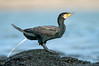 Great Cormorant - Phalacrocorax carbo (Flinders, Vic)