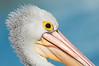 Australian Pelican - Pelecanus conspicillatus (Tathra, NSW)