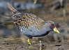 Australian Spotted Crake - Porzana fluminea (Western Treatment Plant, Vic)
