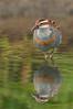 Buff-banded Rail - Gallirallus philippensis (Banyule Flats, Vic)